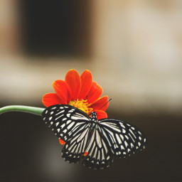 freetoedit flower butterfly photography