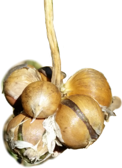 knoblauch aglio nature ingredients freetoedit
