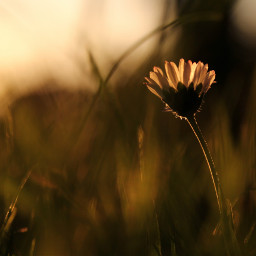 freetoedit daisy daisyflower flower eveningsun