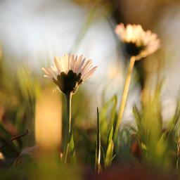 freetoedit daisy daisies flower nature