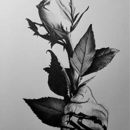 art artoftheday drawing rose beautiful