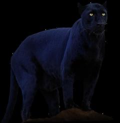 panther blackpanther black wild wildlife freetoedit