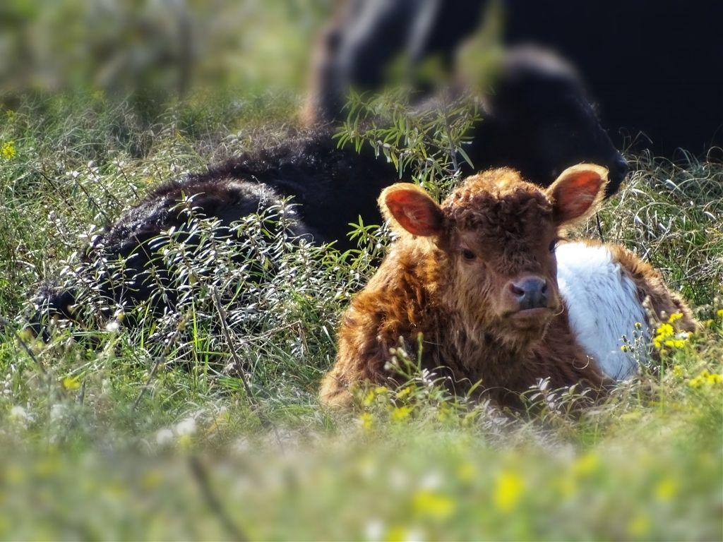 #petsandanimals #galloway #calf #nature #photography #myphoto #tiltshift  #freetoedit