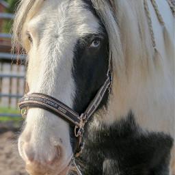 freetoedit pony horse tinker nature
