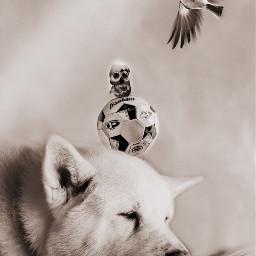 football challenge akita americanakita dog schwarzweissfotografie freetoedit