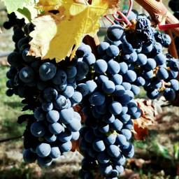 grapes napavalley naturephotography freetoedit