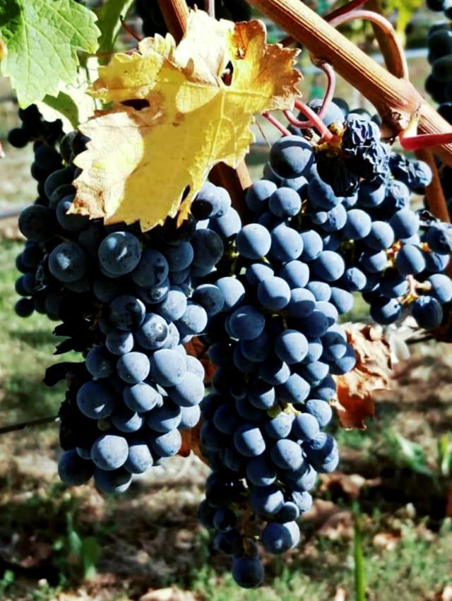 #grapes #napavalley #naturephotography  #freetoedit
