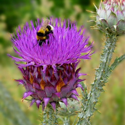 freetoedit nature flower thistle pink