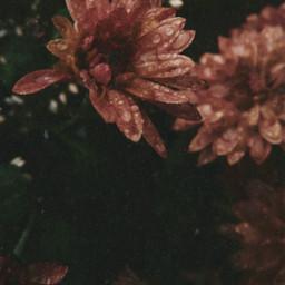 flower chrysanthemum raindrops dew vintage
