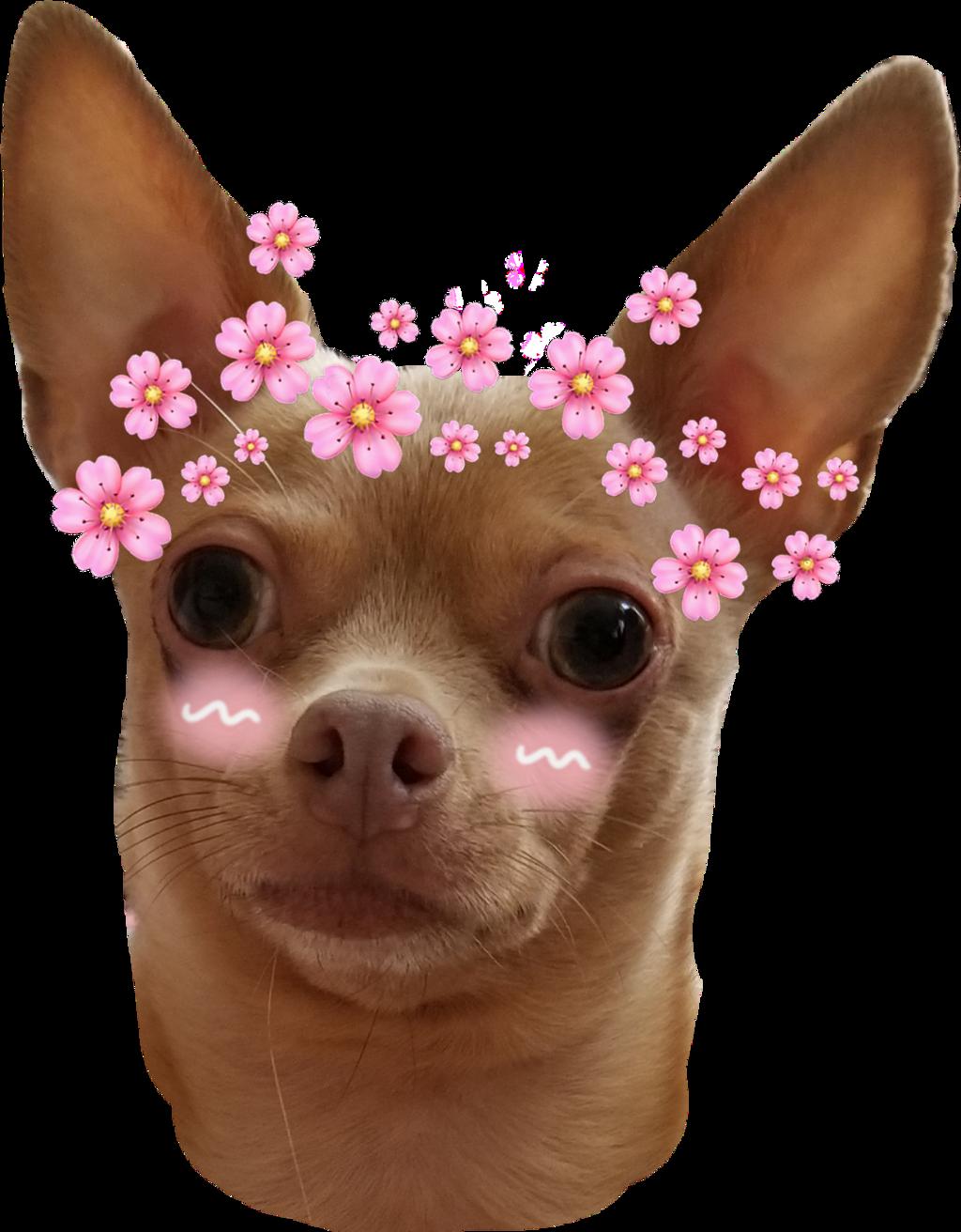 #cute #chihuahua #anime #cutie #puppy #dog #blush