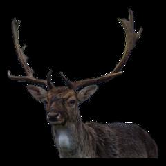 deer buck wildlife antlers freetoedit
