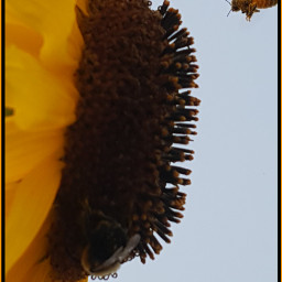 freetoedit sunflower honeybee myphotography myphoto