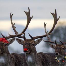 freetoedit reindeers ircdelicatedeer delicatedeer