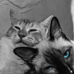 blackandwhite animals cute colorsplash catsofpicsart