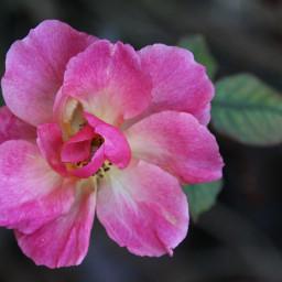 freetoedit lonely simple beautiful beautifulrose