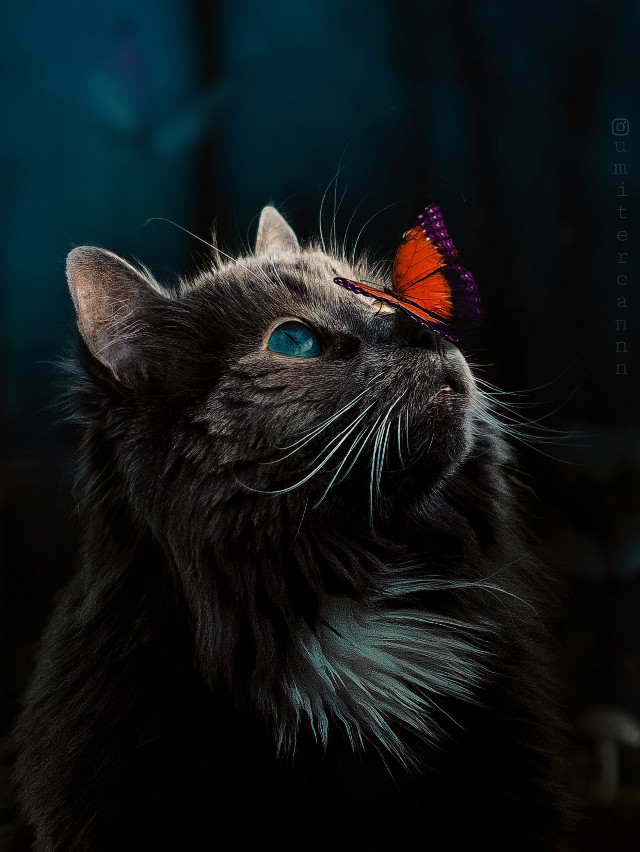 ▶️ butterfly effect two ✌🦋 . . . ▶️ Created with @picsart 🦋 . . . #myedit #cat #animals #butterfly #photography #surreal #interesting #nature #remix #love   #freetoedit