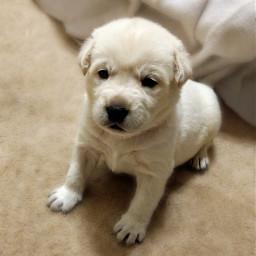 freetoedit puppy dogsofpicsart dog photography