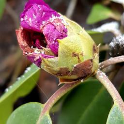 rhododendron pink bud flower pinkflower