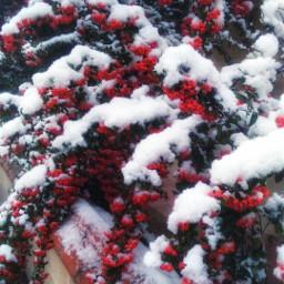 white freetoedit snow winter red pcsnow