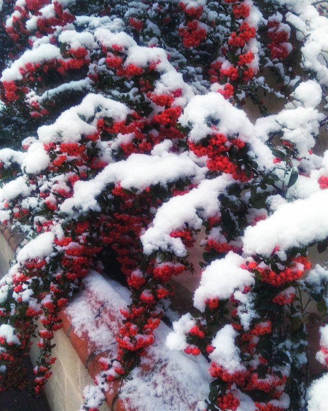 #white  #freetoedit #snow #winter #red #marrychristmas