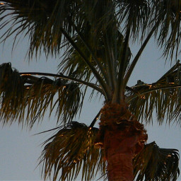freetoedit aesthetic palmtrees photography