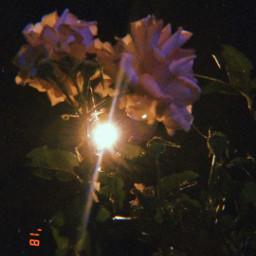 rose roses güller freetoedit gül pclightinthedark