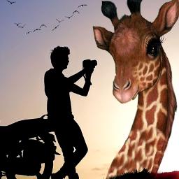 freetoedit vipshoutout giraffe photographer