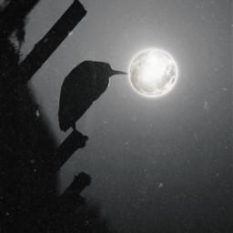 freetoedit vipshoutout bird nature animal night moon sky simple blackandwhite