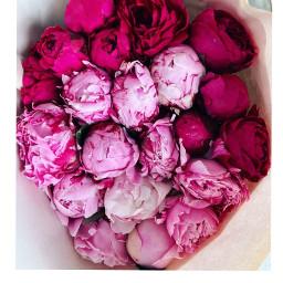 peonies peon flowers pink fuschiapink