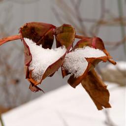 snowfall love leaves myphoto snow freetoedit