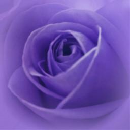 flower rose purple softfocus adjusttool freetoedit
