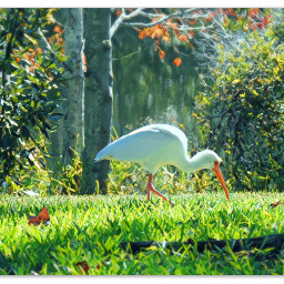 myphoto bird ibis foraging colorfulleaves