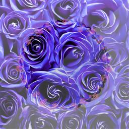 freetoedit roses purple hell rose
