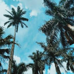 freetoedit palmtree nature bluesky blue