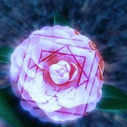 focalzoom fx geometricshape camellia pink freetoedit