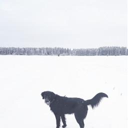 photography winter nature flatcoatedretriever finland