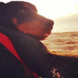 freetoedit puppy dog sunset beach