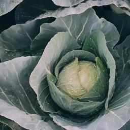 cabbage blossom nature photooftheday picoftheday freetoedit