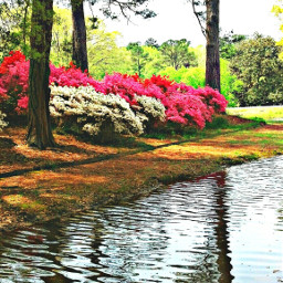 freetoedit azaleas flowers pink creek