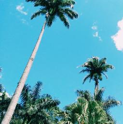 freetoedit palmtree bluesky nature