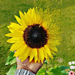 sun flower  created. freetoedit flower