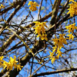 freetoedit spring flowers yellow blooming