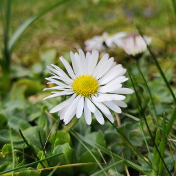 freetoedit pcspringhere daisy nature green