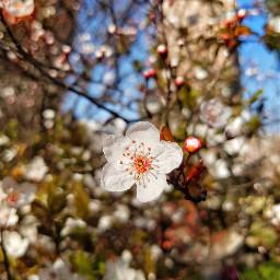spring flowers nature shanghai plumblossom