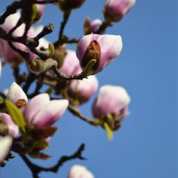 freetoedit photography flowers pcspringishere springishere