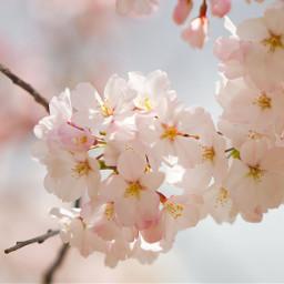 cherry cherrytree spring delicate