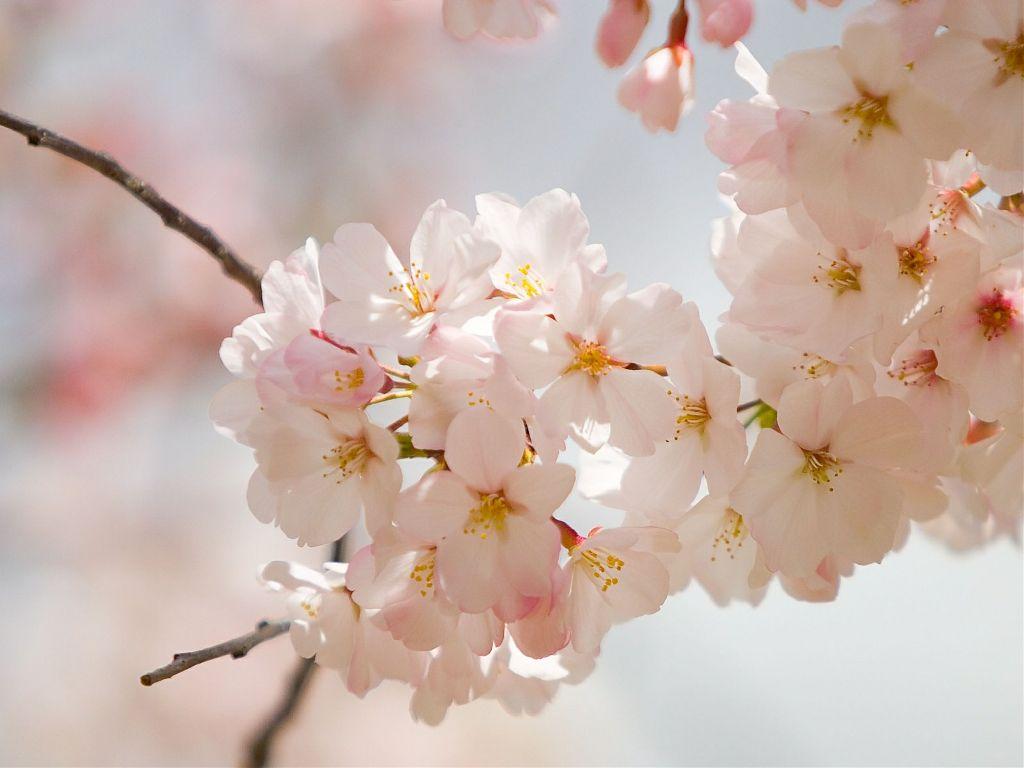 #cherry blossom #cherrytree #spring #delicate
