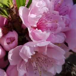 freetoedit peachblossom pink flovers myphoto