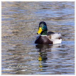 duck bird wasservogel erpel ente freetoedit