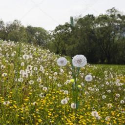 trigo dentedeleão campo freetoedit ircwheat